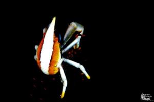 Allogalathea elegans :-D by Daniel Strub