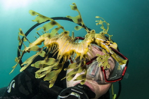 Leafy seadragon (Kingscote jetty, Kangaroo island, south ... by Mathieu Foulquié