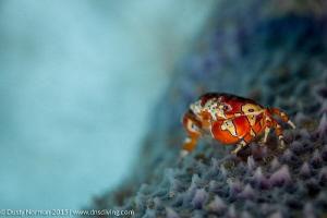 """Purple Porch"" A Gaudy Clown Crab on a Purple Vase Sponge. by Dusty Norman"