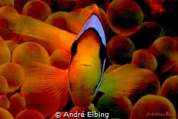 clown Fish in nice colour arrangement by André Elbing