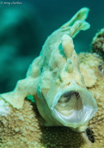 TGIF Yawn. Frogfish. by Tony Cherbas