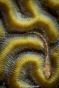 """""""Puzzle Piece"""" A Small Blenny lines it self up perfectly... by Chase Darnell"""