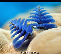 Christmas Tree Worm by Robin Jeffries