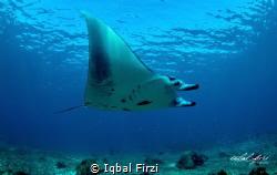 fly like a bird, giant manta at komodo national park indo... by Iqbal Firzi