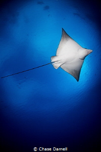 """""""Overhead"""" A Spotted Eagle Ray trusting me enough to fly... by Chase Darnell"""
