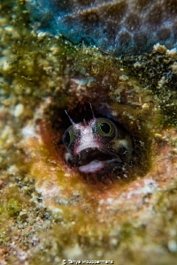 Cocos Barnacle Blenny These blennies are only found in t... by Tanya Houppermans