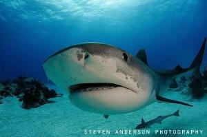 This big Tiger Shark one many patrol Beach off West End Bahamas
