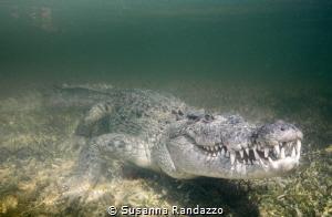 Banco Chinchorro , American Crocodile by Susanna Randazzo