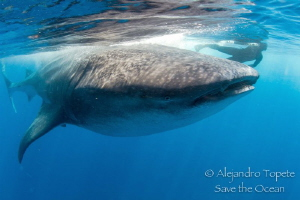 Whaleshark and snorkeler, Isla Contoy Mexico by Alejandro Topete