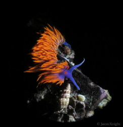 Flabellina iodinea by Jason Knight