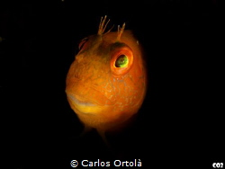 Cute Mediterranean blenny by Carlos Ortolà