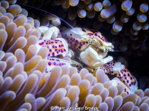 porcelain crab by Marc Van Den Broeck