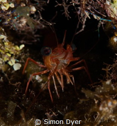 RedEyes can be seen on any night dive getting close to th... by Simon Dyer