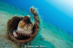Small octopus hidding. by Petra Van Borm