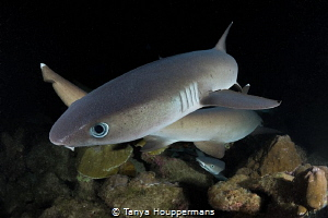 X Marks The Spot Whitetip reef sharks cross paths as the... by Tanya Houppermans