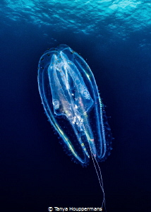 Light Show A comb jelly floats by during a safety stop a... by Tanya Houppermans