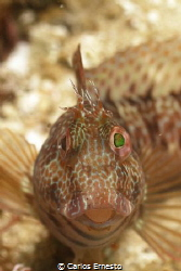 blenny by Carlos Ernesto