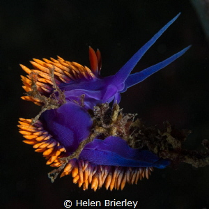 Flabellina Iodinea, just off shore in the swell by Helen Brierley