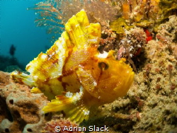 Leaf me alone, leafy scorpion fish (or paperfish as known... by Adrian Slack