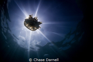 """""""Jelly Burst"""" A Jelly Fish backlit using the sun. by Chase Darnell"""