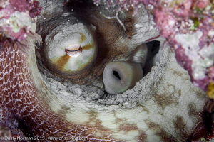 """""""In the Trenches"""" It is rare to find an Octopus during t... by Dusty Norman"""