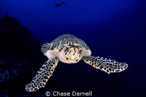 """""""Freeze Frame""""  This large Hawksbill literally swam up t... by Chase Darnell"""