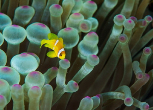 Juvenile Clownfish  Red Sea/Egypt Nikon D800  105mm VR... by Spencer Burrows