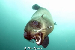 Playing seal by Gino Symus