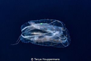 Mesmerizing Side view of a comb jelly in the waters off ... by Tanya Houppermans