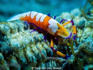 very small lobster by Marc Van Den Broeck