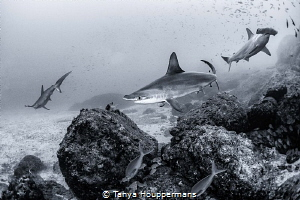 Three Amigos Three hammerhead sharks swim near the rocky... by Tanya Houppermans