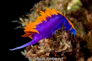Spanish Shawl in the kelp beds, San Diego by Tobias Reitmayr