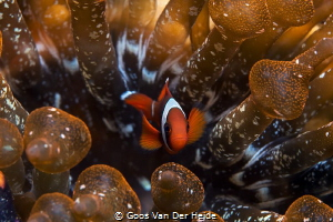 Juvenile Anemone fish hiding in his anemone by Goos Van Der Heide