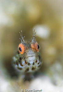 """""""Hazy"""" A Roughhead Blenny with a soft background. I real... by Chase Darnell"""