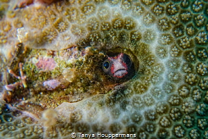 Who's There? A small Cocos Barnacle Blenny peeks through... by Tanya Houppermans