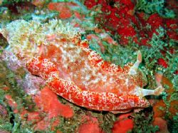 Spanish dancer from a night dive on Kapalai. by Dawn Watson