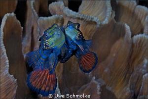 Cheek to cheek - Image taken all in intact coral Environ... by Uwe Schmolke