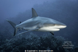Three beautiful, strong, sleek reef sharks spent the enti... by Susannah H. Snowden-Smith