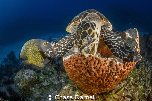 """""""Munchin"""" A Hawksbill Turtle digs into some sponge. by Chase Darnell"""