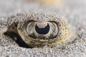 E Y E  Stingray (Dasyatis pastinaca) Anilao, Philippine... by Irwin Ang