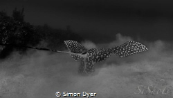 As the Eagle-ray looks for food it gave me the chance to ... by Simon Dyer
