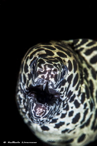 spotted moray by Raffaele Livornese
