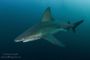 Sandbar Shark-Jupiter,Florida. by Richard Goluch