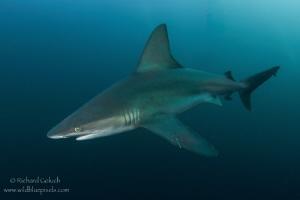 Sandbar Shark-Jupiter,Florida. by Richard Goluch