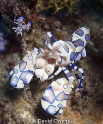 Harlequin Shrimp, adult and juvenile. Ambon, Indonesia by David Owens