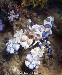 Harlequin Shrimp, adult and juvenile. Ambon, Indonesia by David Owens