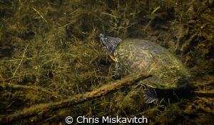 Juvenile snapping turtle..... by Chris Miskavitch