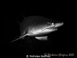 Sand Tiger Shark, Morehead City, North Carolina. by Nicholas Godfrey