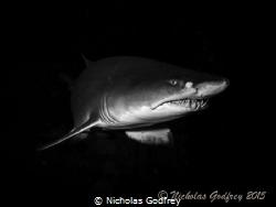 Sand Tiger Shark, Morehead City, North Carolina. by Nicholas Godfrey