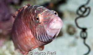 Nosy Wrasse 5284x3120 by Marco Fierli